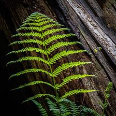 Fern (Kirk Lougheed) Tags: california statepark usa plant fern landscape unitedstates outdoor santacruzmountains portolaredwoods portolaredwoodsstatepark