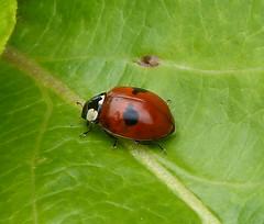 2 Spot Ladybird - Adalia bipunctata (gailhampshire) Tags: 2 spot ladybird adalia bipunctata taxonomy:binomial=adaliabipunctata