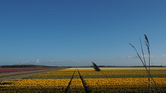 Bollenveld in de polder (Gerrit Veldman) Tags: tulpen tulpenveld bollenveld flevoland noordoostpolder tulips yellow geel olympus epl7 nederland netherlands