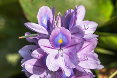 Common water hyacinth flower (swabanik) Tags: monocots hyacinthflowers angiosperms flowers commonwaterhyacinth hyacinth waterhyacinthflowers aquaticplants eichhorniacrassipes aquaticflowers