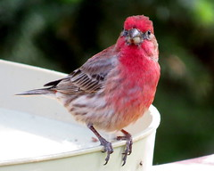 Handsome fellow (diffuse) Tags: red bird backyard finch 16may25