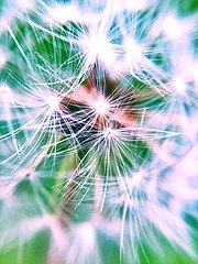 Make a wish (rhskeete) Tags: goodluck wish bright colour nature highdefinition closeup hdr plant plants flowers flower