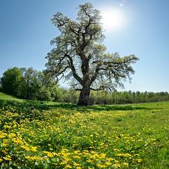 Kadesj Oak (colour) (claustral) Tags: flowers panorama sun tree field yellow skne oak sweden wide large single ek solitary vertorama