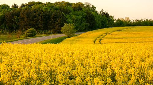 Rape field at sunset.