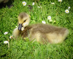 Baby goose=gosling<> Oison. (France-) Tags: canada bird animal vancouver bc stanleypark gosling 90 oiseau bernache oison oieducanada outardeau canadababygoose