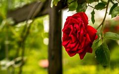 Rose (adnanefs) Tags: red nature rose zeiss vintage garden bush bokeh sharp