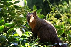 Squirrel - Light and Shade (Blanca Rosa2008 +3,700,000 Views Thanks to All) Tags: portrait naturaleza green nature animals closeup squirrel squirrels bokeh wildlife canoneos60d zstincer californiassquirrels