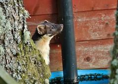 thirsty little kit (Suzie Noble) Tags: garden mammal pinemarten mustelid waterbutt strathglass struy pinemartenkit