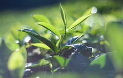 tea leaf of Munnar ([s e l v i n]) Tags: india green nature natural tea kerala greenery munnar teaestate tealeaf keralatourism keralatravel picturesofkerala selvin