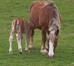 La tte (chrdraux) Tags: horse montagne cheval vert maman marron petit pyrnes repas poulain jument tte crinire