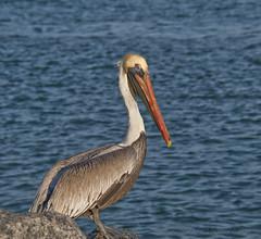 pelican (Alida's Photos) Tags: morning bird florida pelican jupiter