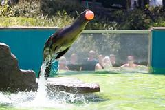 Sealion - Welsh Mountain Zoo (Tim Furfie) Tags: mountain animal wales zoo bay jump action wildlife welsh trick sealion californian colwyn
