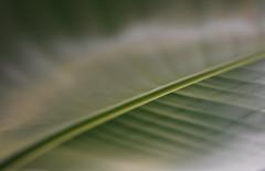 Grne Architektur - Green architecture (Bernd Kretzer) Tags: banane banana blatt leaf pflanze plant grn green abstrakt abstract nikon afs dx nikkor 35mm f18 g bokeh