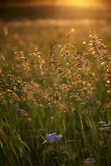 Evening Bliss (Rh+) Tags: iowa linncounty evening sun magic shimmer golden nature fields grass nikon mountvernon natural landscape explore