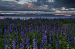 Lupine at Sunset Lake Tahoe (sierra_bum) Tags: flowers sunset landscapes nikon flickr laketahoe sierra tokina lupine