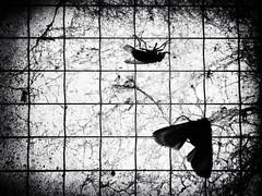 DSCF0047 (Neil Johansson LRPS) Tags: uk light urban blackandwhite white black home window monochrome lines wales digital dark landscape photography fly photo noir fuji moth insects photograph finepix fujifilm rhyl urbanphotography northwales denbighshire cyrmu yrhyl f770exr