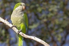 Myiopsitta monachus - Cotorra Comn - Monk parakeet (Gustavo Masuzzo) Tags: aves argentinas loro cotorra parrot