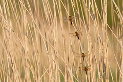 Four-spotted chasers (Steve Balcombe) Tags: uk dragonfly somerset levels chaser libellula odonata rspb anisoptera fourspotted quadrimaculata hamwall avalonmarshes