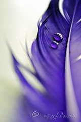 of feathers and droplets (ggcphoto) Tags: detail macro bird closeup dof purple softness feather indoor waterdroplets