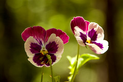 DILO June 20 2016 (13) (tommaync) Tags: flowers summer white green nature june nc nikon purple northcarolina solstice stems blooms pansies dilo chathamcounty 2016 d40 dilojun2016