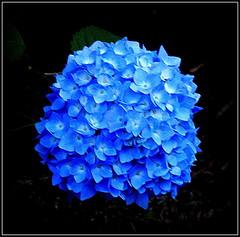 Blue Hydrangea (dimaruss34) Tags: newyork flower brooklyn image dmitriyfomenko