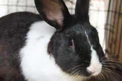 IMG_7637 (Gioser_Chivas) Tags: rabbit bunny animal conejo mascota vertebrado gioserchivas