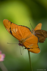 Butterfly 2016-73 (michaelramsdell1967) Tags: light plant color detail green nature beautiful beauty animal animals closeup butterfly bug garden insect photography hope spring nikon natural bokeh vibrant background wing butterflies vivid insects zen upclose