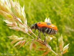 Ausgefahrenes Fahrgestell (Fotoamsel) Tags: deutschland tiere natur wiese insekten goslar niedersachsen blattkfer