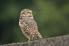 ATU_5123_Coruja Buraqueira_LR (Ana Taemi) Tags: bird wildlife natureza ave owl coruja sopedro athenecunicularia burrowingowl corujaburaqueira