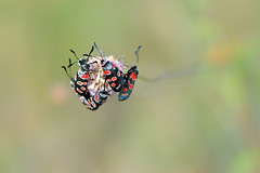 Wild bunch (Fabio Polimadei) Tags: macro nature butterfly bug bokeh wildlife butterflies papillon mariposa micronikkor105mm zygaena