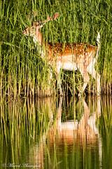 Deer in the water (Kenjirio) Tags: summer animals wildlife zomer zandvoort amsterdamse 2016 waterleidingduinen waternet