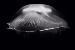 Meduza a la XRAY (Jelena. T) Tags: sea blackandwhite black monochrome blackbackground umbrella dark jellyfish moody marinelife moonjelly seaanimal meduza