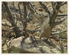 Round-tailed Squirrel (gauchocat) Tags: tucsonarizona tucsonmountains
