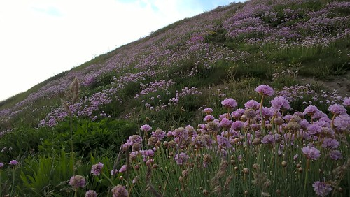Cliff Face Thrift at Southbourne by Robert Potter