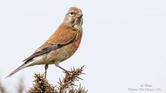 Linotte mlodieuse ( Linaria cannabina )-7 (lolo_31) Tags: birds aves oiseaux fringillidae cardueliscannabina commonlinnet linottemlodieuse fringillids passriformes