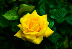 Beautiful Yellow Rose (williams19031967) Tags: pink blue sky plant blur flower macro field yellow closeup clouds weeds focus pretty all dof close bokeh outdoor sony saints cybershot spire depth a7 hallows wellingborough