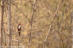 White-Breasted or White-throated Kingfisher (Robbert met dubbel B) Tags: park india nature wildlife indian reserve safari national kingfisher april 29 smyrna 29th 2016 whitebreasted ijsvogel tigerreserve nationaal whitethroated tadoba andhari smyrnaijsvogel