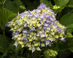 Day 6 15 Logan Botanic Garden yellow and blue flowers (bob watt) Tags: uk plants flower june canon scotland 7d 2016 18135mm loganbotanicgarden canoneos7d kirkcudbrightholidayjune2016