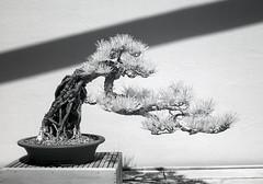 DSC_3785s (An Xiao) Tags: arboretum bonsai penjing
