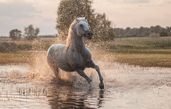 definition of freedom (Jagoda 1410) Tags: horse water animal freedom outdoor arabian arabianhorse stallion equine gallop equinephotography arabianstallion horseinmotion horseingallop