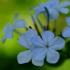 Blue flowers (judith511) Tags: flower plumbago hedgingshrub