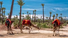 Una de camellos (David Ruiz Luna) Tags: africa trip viaje tourism animals northafrica tourist dromedary palm camel morocco marrakech animales marruecos turismo palmera touring camello frica dromedario turstico touristsites touristicattraction fricadelnorte atraccinturstica touraroundtheworld marrakechtensiftalhaouz morocco14 elpalmeraldemarrakech palmgroveofmarrakech