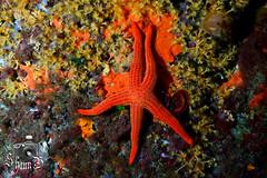 Starfish (ShaunMYeo) Tags: espaa spain espanha scubadiving espagne cabodepalos spanien spagna spanje spnn spania underwaterphotography  espanya  hispania hiszpania ispanija espanja ispanya spanyolorszg panlsko ikelite hispaania underwaterphotographer spanyol  hispanio    spanja ispaniya sepanyol  panija panielsko  espainiako     spinn  espay   spnija  spanj