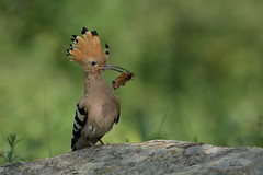 Wiedehopf (Upupa epops) - Hoopoe (Claudia Brockmann) Tags: bird nature birds animal animals forest wildlife natur wildanimal hoopoe bulgarien wiedehopf
