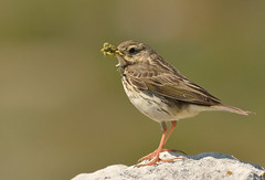 Meadow Pipit (Severnrover) Tags: summer bird feeding meadow caterpillars pipit