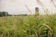 Milkweed (Denise @ New Mercies I See) Tags: 2016 july summer ohio milkweed texture outside farm country countryside holmescounty fence onethousandgifts amishcountry