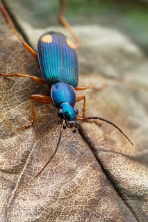 Two-spotted blue Carabid