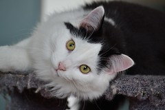 Oro (pascal_roussy) Tags: animals cat nikon chat animaux d3100