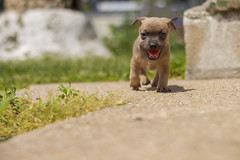 Little southern pup (Toki.Photos) Tags: blue rescue dog brown chihuahua color dogs canon puppy children fur outside outdoors photography mutt mix eyes puppies little small indoor doggy breed adopt puppys