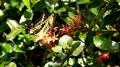 Heraclides thoas brasiliensis (Helio Lourencini) Tags: flowers flores nature butterfly insect wildlife natureza butterflies borboletas selvagem heraclidesthoasbrasiliensis